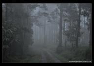 suasana berkabut didalam hutan pinux