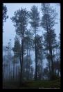 suasana hutan pinus berkabut