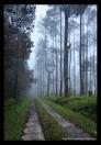 Suasana di dalam hutan pinus